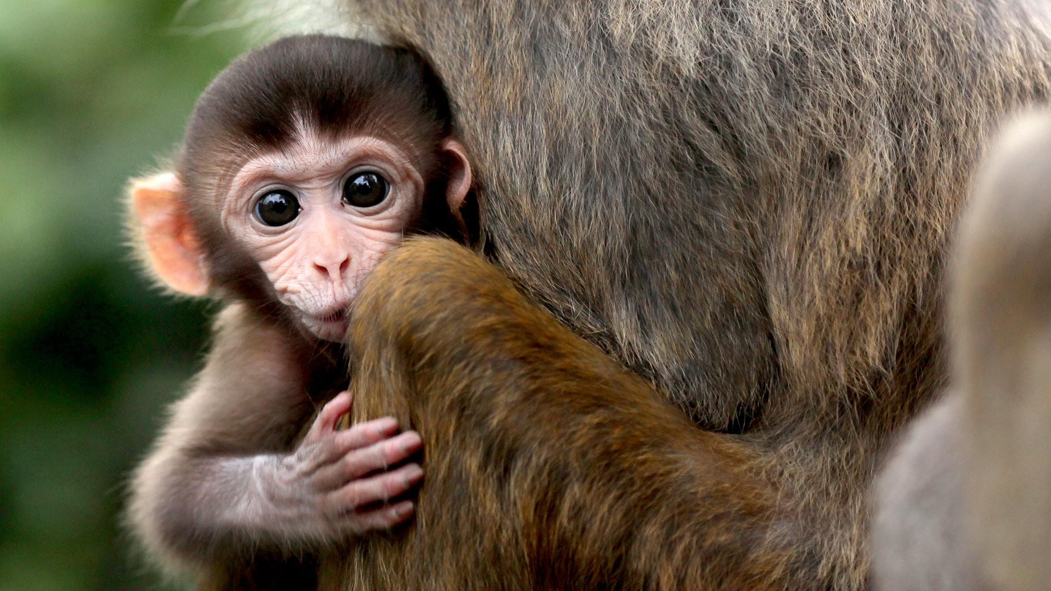 Florida Monkeys Spreading Herpes Virus